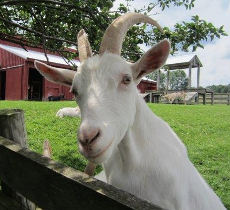 Farm Sanctuary Goat