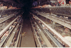 tens of thousands of chickens in a barn