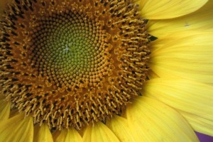 Sunflower (5)-1