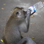 Thirsty monkey finds a drink