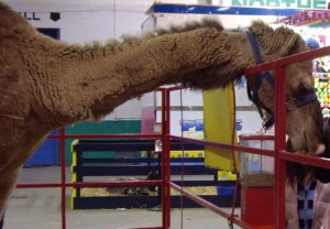 Commerford camel (website)